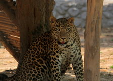 Leopard staring - Panthera Pardus royalty free stock photos
