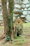 Leopard staring and tempting to eat Royalty Free Stock Images