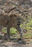 Leopard staring at the tourist at Tadoba Tiger reserve Maharashtra,India. Asia royalty free stock photos