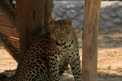 Leopard Staring. A wild leopard sitting under the shade and staring Royalty Free Stock Photography