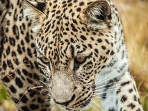 A leopard starring. Away Royalty Free Stock Images