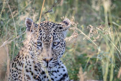 Leopard starring from in between the grass. Stock Images