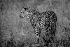 Leopard starring at something in the grass. Leopard starring at something in the grass in black and white in the Kruger National Park, South Africa royalty free stock photos