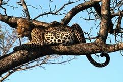 Leopard starrt entlang des möglichen Opfers an Lizenzfreie Stockfotos