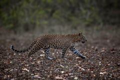 Leopard. A leopard on the start up for a hunt Royalty Free Stock Photo