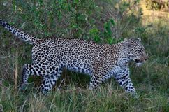 Leopard Stealthy Walk. This was taken in the Masai Mara in Kenya, Africa Stock Image
