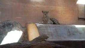 Leopard steht im Zoo still stock video footage