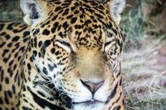 Leopard-Stellen Lizenzfreies Stockfoto