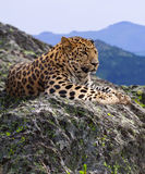 Leopard on stones royalty free stock image