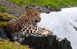 Leopard  on stones Stock Photo