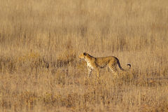 Leopard stood in grass Royalty Free Stock Photography