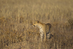 Leopard stood in grass Royalty Free Stock Photo