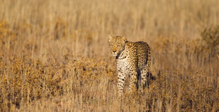 Leopard stood in grass Royalty Free Stock Images