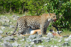 Leopard stood over kill. Close up of Leopard stood over dead Impala, vegetation in background Royalty Free Stock Photos