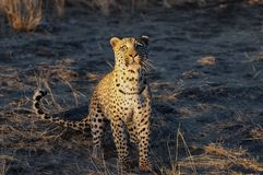 Leopard sucht nach Fang, Namibia stockbilder