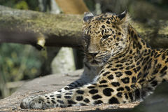 Leopard sunbathing. Stock Images