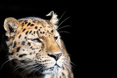 Leopard isolated on black Royalty Free Stock Photography