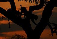 Leopard Sunset1 Arkivfoto