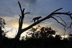 Leopard in the sunset on a tree. Taken in botswana in the sun of the evening Stock Image