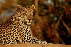 Leopard at Sunset. A wild leopard photographed on safari in South Africa, in the Timbavati Game Reserve Stock Photo