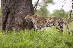 Leopard in tall grass Royalty Free Stock Photo