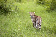 Leopard in tall grass Stock Photo