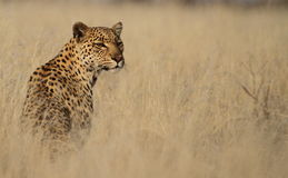 Leopard in tall grass Royalty Free Stock Photography