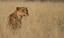 Leopard in tall grass Royalty Free Stock Photos