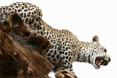 Leopard taxidermy object animals theme Stock Images