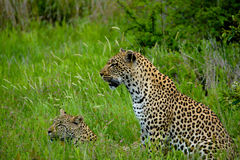 Leopard Teaching Youngster to Hunt. Mother leopard teaching youngster to hunt through the tall grass of the Kruger National Park in South Africa Stock Image