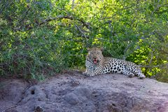 Leopard on a termite mound royalty free stock image