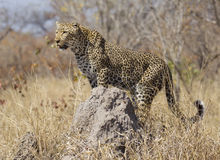 Leopard on termite mound, South Africa. Female Leopard (Panthera pardus) using a termite mound as a vantage point, South Africa Royalty Free Stock Photos