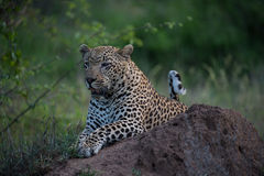 Leopard on the termite mount Royalty Free Stock Photography