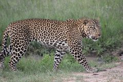 Leopard, Terrestrial Animal, Wildlife, Jaguar stock image