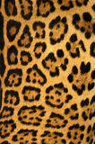 Leopard texture Stock Photos