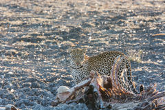 Leopard with a Thornicroft giraffe carcass Stock Images