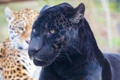 Leopard, Tier lizenzfreie stockfotografie