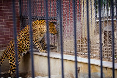 Leopard, tiger, animal, cat, zoo-park, garden Royalty Free Stock Photos