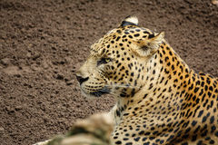 Leopard (Tiger) standing over sand with open eyes. Side view of Leopard (Tiger) with open eyes standing on the sand Royalty Free Stock Photos