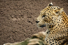 Leopard (Tiger) standing over sand. Side view of Leopard (Tiger) standing on the sand Royalty Free Stock Images