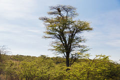 Leopard on top of tree in savannah at africa Royalty Free Stock Photo