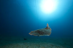 Leopard torpedo ray and ocean Royalty Free Stock Photo