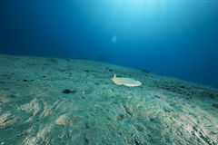 Leopard torpedo ray and ocean Stock Images