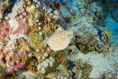 Leopard torpedo ray. Panther electric ray (Torpedo panthera), in the Red Sea, Egypt Stock Photography