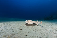 Leopard torpedo ray (torpedo panthera) in  the Red Sea. Royalty Free Stock Photo