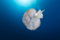 Leopard torpedo ray (torpedo panthera) in  the Red Sea. Royalty Free Stock Images
