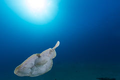 Leopard torpedo ray (torpedo panthera) in  the Red Sea. Royalty Free Stock Image