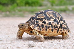 Leopard tortoise Royalty Free Stock Photos