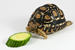 Leopard Tortoise. (Geochelone pardalis) isolated on white background is eating cucumber Royalty Free Stock Photos