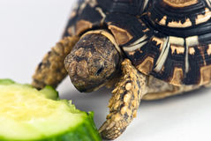 Leopard Tortoise. (Geochelone pardalis) isolated on white background is eating cucumber Royalty Free Stock Photo